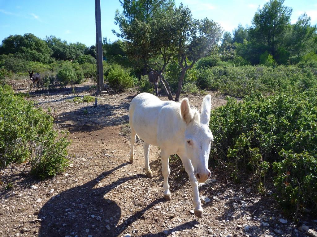 El burro blanco