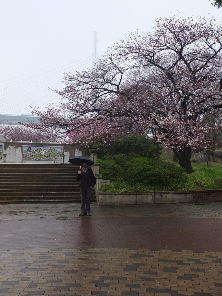 Nos premiers cerisiers en fleurs